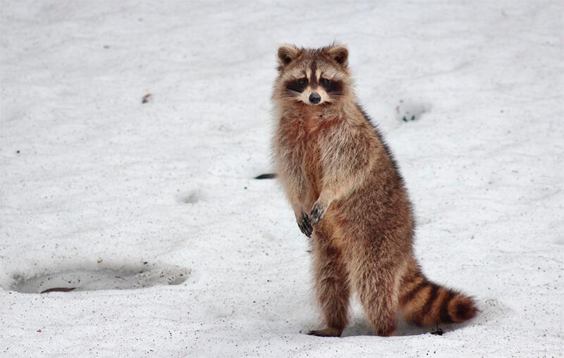 Mapache habitando en la nieve