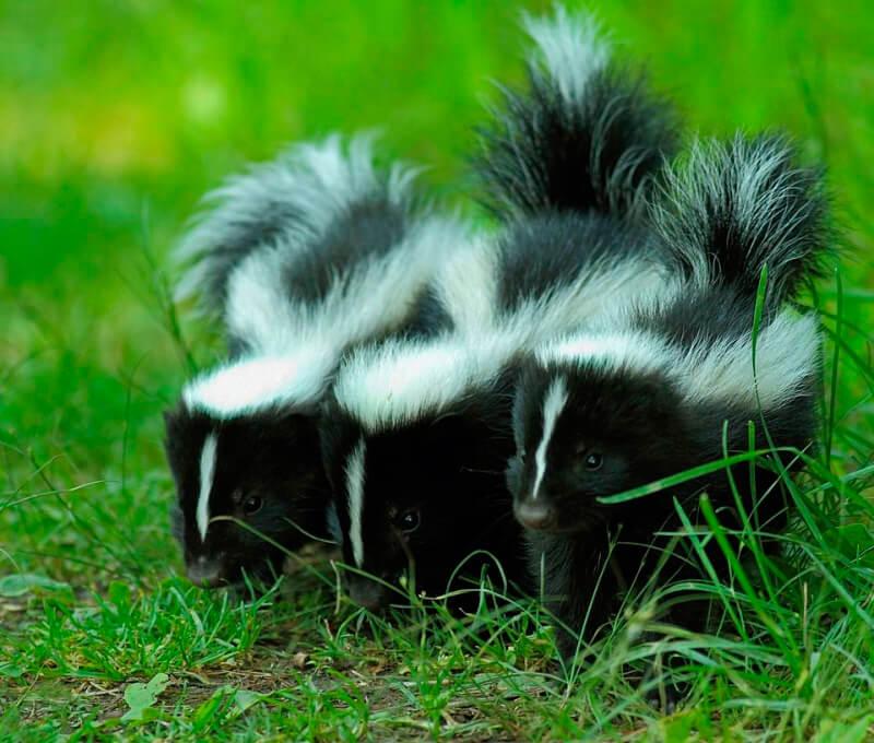 Crías de mofetas rayadas