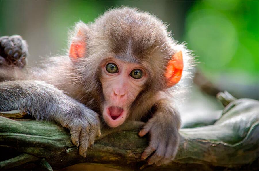 Primer plano de un mono japonés