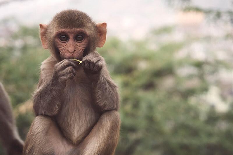 Mono comiendo