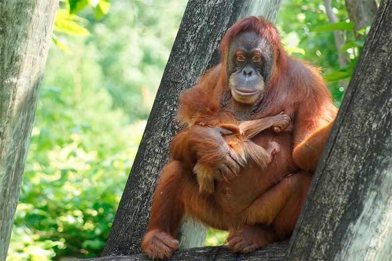Orangután hembra con su cría en un zoológico de Estados Unidos