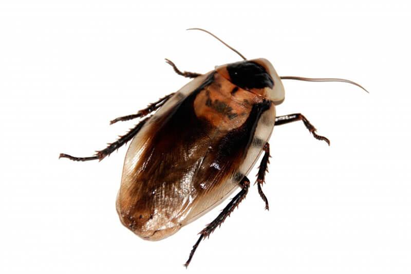 Cucaracha vista desde arriba