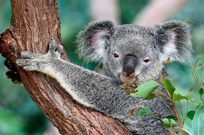 Foto frontal de un koala