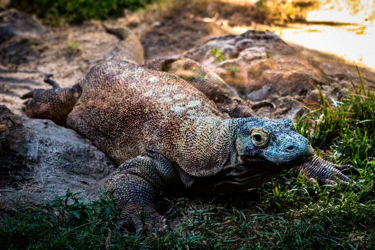 El dragón de komodo es lagarto más grande del mundo