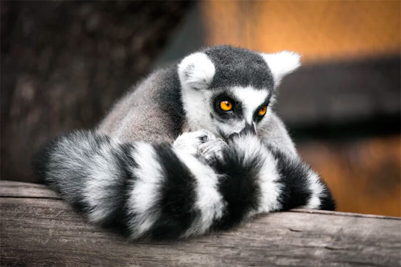 Lémur apoyado en un tronco