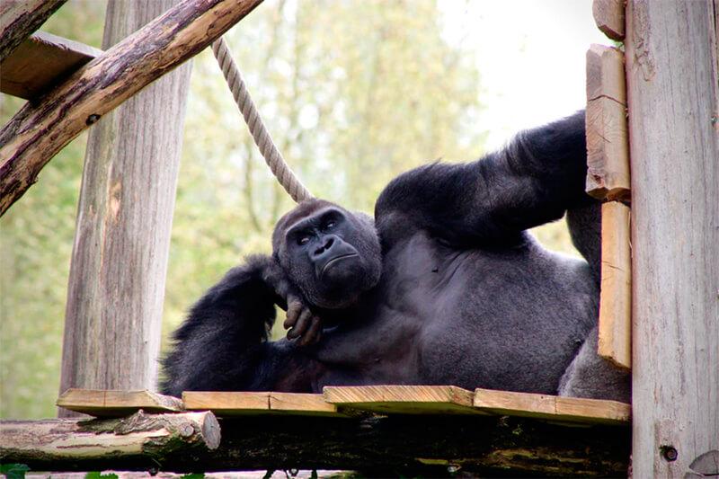Gorila descansando, posando o pensando. ¿Alguien lo sabe?
