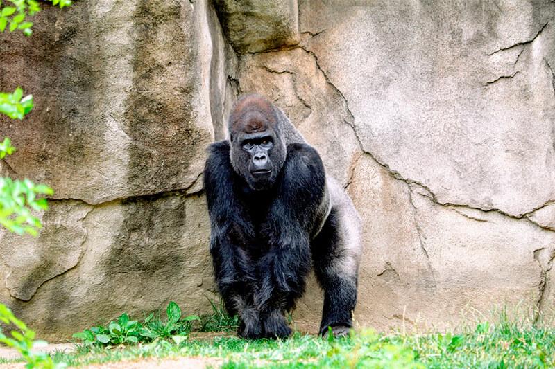 Podemos observar la espalda plateada de este gorila