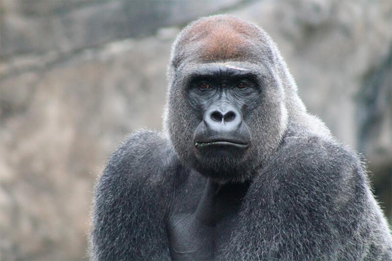 Gorila visto de frente