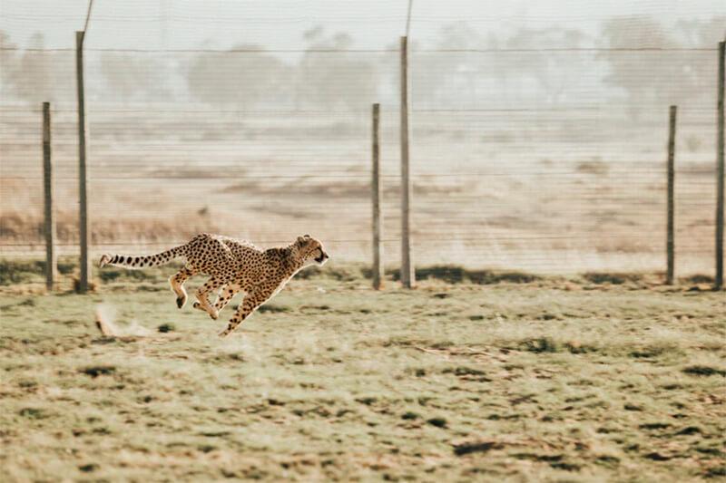 Guepardo en carrera