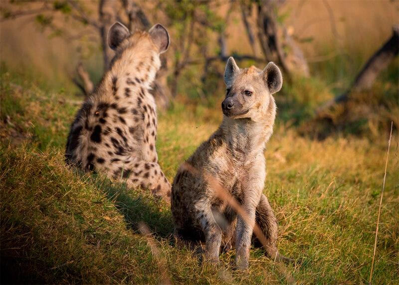 Pareja de hienas
