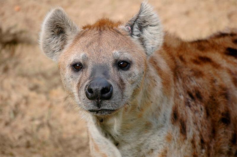 Primer plano de una hiena