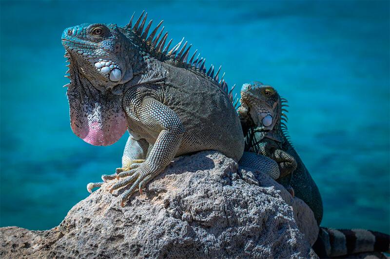Dos iguanas verdes