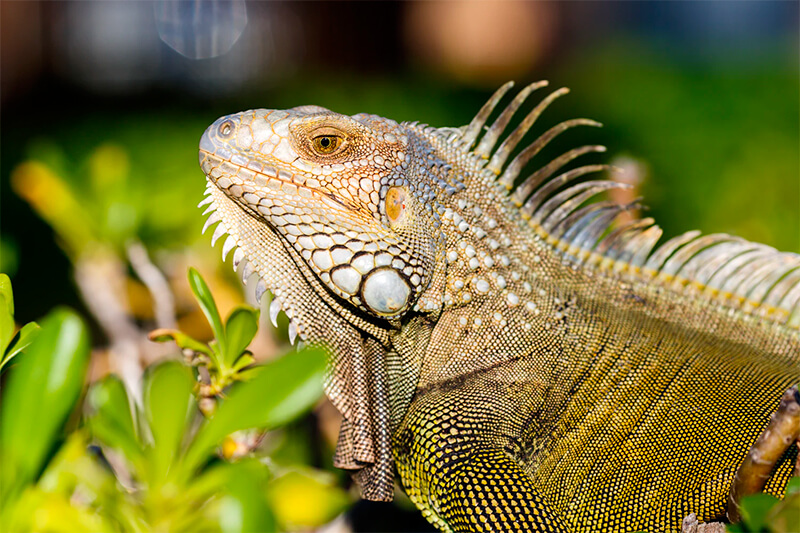 Foto de una iguana común (Iguana iguana)