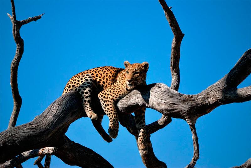 Leopardo descansando en una rama