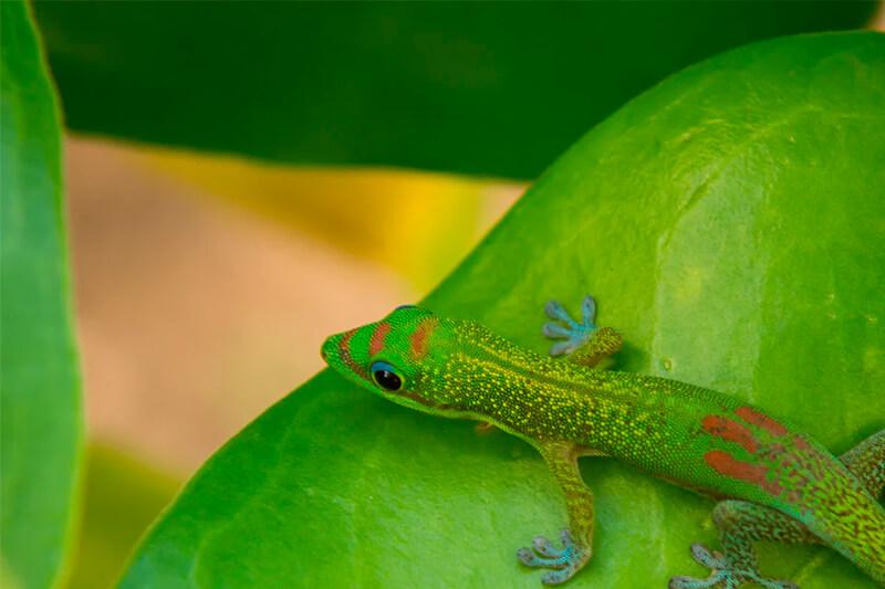 El gecko de tonos verdosos es más habitual en zonas tropicales