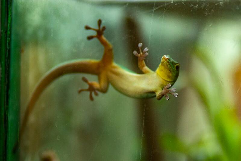 Gecko apoyado sobre una superficie de cristal.